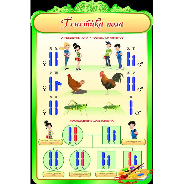 Генетика пола для кабинета Биологии в зеленых тонах