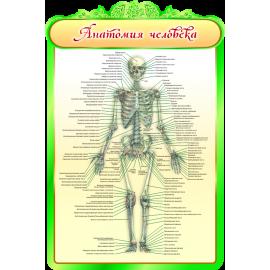Стенд Анатомия человека для кабинета Биологии в зеленых тонах