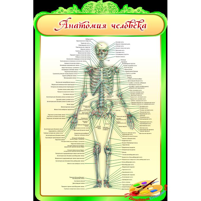 Анатомия человека для кабинета Биологии в зеленых тонах