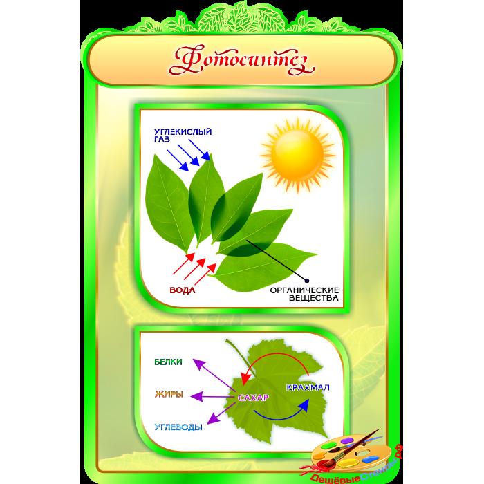 Фотосинтез для кабинета Биологии в зеленых тонах