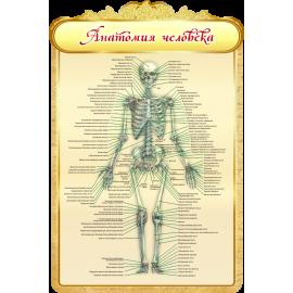 Стенд Анатомия человека для кабинета Биологии в золотистых тонах