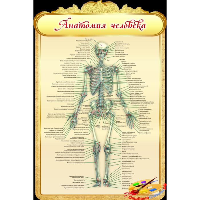 Анатомия человека для кабинета Биологии в золотистых тонах